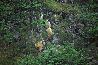 Takin (Budorcas taxicolor) herd walking down forested rocky slope, Qinling Mountains, Shaanxi, China  -  Xi Zhinong