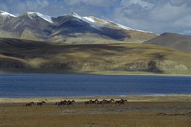 Tibetan Wild Ass (Equus hemionus kiang) herd running across Tibetan Plateau, Qinghai, China  -  Xi Zhinong