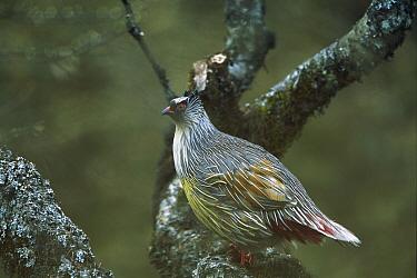 Blood Pheasant (Ithaginis cruentus) perched in tree, Qinling Mountains, Shaanxi, China  -  Xi Zhinong