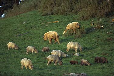 Takin (Budorcas taxicolor) family group grazing, Qinling Mountains, Shaanxi, China  -  Xi Zhinong
