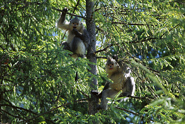 Yunnan Snub-nosed Monkey (Rhinopithecus bieti) pair in tree, Weixi County, Yunnan Province, China  -  Xi Zhinong