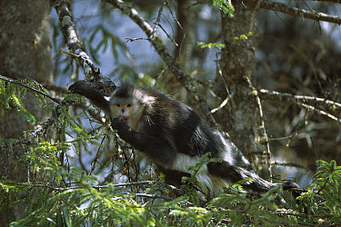 Yunnan Snub-nosed Monkey (Rhinopithecus bieti) adult feeding in tree, Weixi County, Yunnan Province, China  -  Xi Zhinong