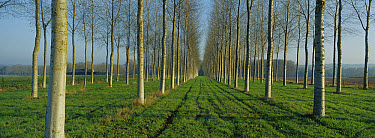Cottonwood (Populus sp) plantation, France  -  Cyril Ruoso