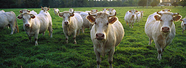 Domestic Cattle (Bos taurus) Charolais herd in pasture, Picardie, France  -  Cyril Ruoso