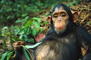 Chimpanzee (Pan troglodytes) sick baby with a big belly, Gabon  -  Cyril Ruoso