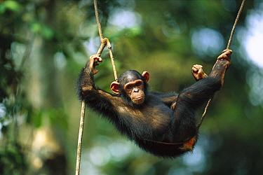 Chimpanzee (Pan troglodytes) resting on a liana vine, Gabon  -  Cyril Ruoso