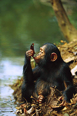 Chimpanzee (Pan troglodytes) young using a leaf to drink, Gabon  -  Cyril Ruoso