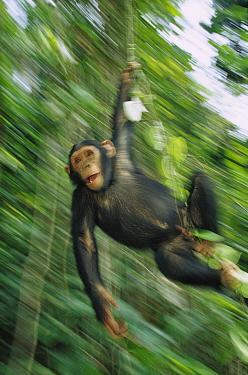 Chimpanzee (Pan troglodytes) juvenile swinging from vines, Gabon  -  Cyril Ruoso