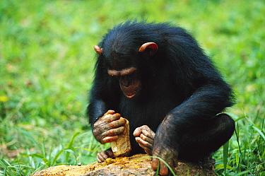 Chimpanzee (Pan troglodytes) using tools to crack nuts, Gabon  -  Cyril Ruoso