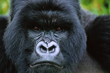 Mountain Gorilla (Gorilla gorilla beringei) close-up portrait of a silverback in the rain, Parc National Des Volcans, Rwanda  -  Cyril Ruoso