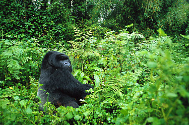 Mountain Gorilla (Gorilla gorilla beringei) a large silverback a few minutes before he attacked a tourist, Virunga Mountains, Rwanda  -  Cyril Ruoso