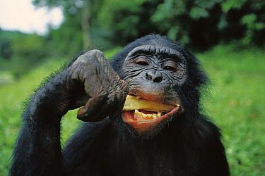 Bonobo (Pan paniscus) eating sugar cane, ABC Sanctuary, Democratic Republic of the Congo  -  Cyril Ruoso