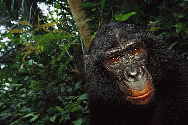 Bonobo (Pan paniscus), portrait of a male, ABC Sanctuary, Democratic Republic of the Congo  -  Cyril Ruoso