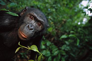Bonobo (Pan paniscus) portrait of a male, ABC Sanctuary, Democratic Republic of the Congo  -  Cyril Ruoso