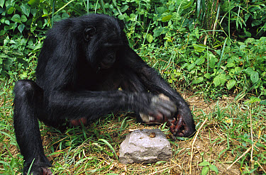 Bonobo (Pan paniscus) using rocks as a hammer and anvil to crack open nuts, ABC Sanctuary, Democratic Republic of the Congo  -  Cyril Ruoso