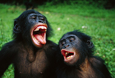 Bonobo (Pan paniscus) juvenile pair making funny faces, Democratic Republic of the Congo  -  Cyril Ruoso
