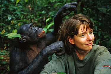 Bonobo (Pan paniscus), grooming a visitor, ABC Sanctuary, Democratic Republic of the Congo  -  Cyril Ruoso