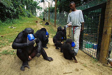 Bonobo (Pan paniscus), four drinking water with their keeper, ABC Sanctuary, Democratic Republic of the Congo  -  Cyril Ruoso