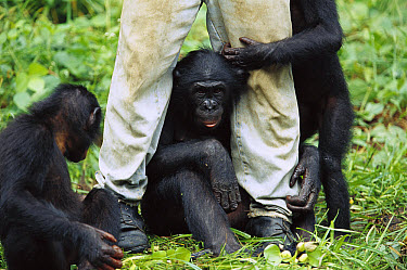 Bonobo (Pan paniscus) playing with their keeper, ABC Sanctuary, Democratic Republic of the Congo  -  Cyril Ruoso