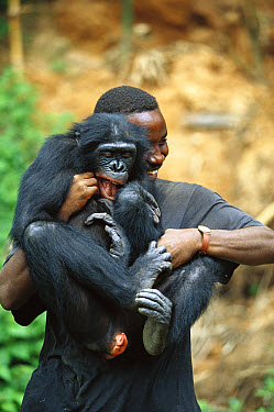 Bonobo (Pan paniscus), playing with keeper, ABC Sanctuary, Democratic Republic of the Congo  -  Cyril Ruoso