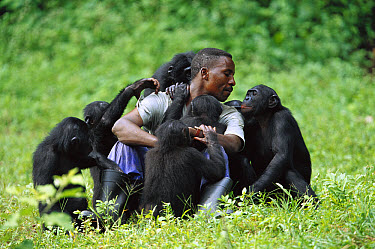 Bonobo (Pan paniscus), group playing with keeper, ABC Sanctuary, Democratic Republic of the Congo  -  Cyril Ruoso