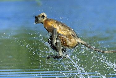 Hanuman Langur (Semnopithecus entellus) crossing a river, Rajasthan, India  -  Cyril Ruoso