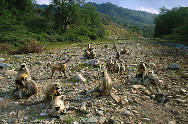 Hanuman Langur (Semnopithecus entellus) family group in stream bed, Ranakpur Forest, Rajasthan, India  -  Cyril Ruoso