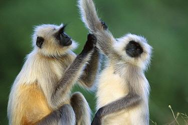 Hanuman Langur (Semnopithecus entellus) two females grooming, Rajasthan, India  -  Cyril Ruoso