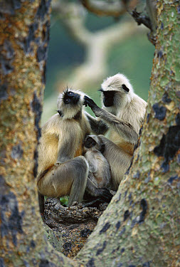 Hanuman Langur (Semnopithecus entellus) two adults with infant grooming, Ranakpur Forest, Rajasthan, India  -  Cyril Ruoso