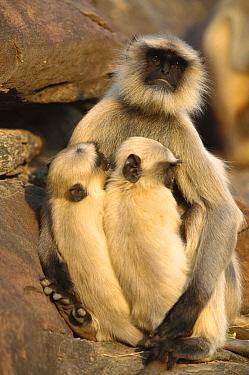 Hanuman Langur (Semnopithecus entellus) mother nursing her twins in the Thar Desert, Rajasthan, India  -  Cyril Ruoso