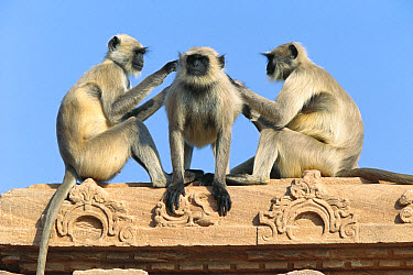 Hanuman Langur (Semnopithecus entellus) three on building grooming each other, Rajasthan, India  -  Cyril Ruoso