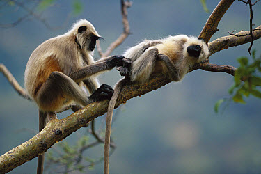 Hanuman Langur (Semnopithecus entellus) pair grooming, Ranakpur Forest, Rajasthan, India  -  Cyril Ruoso