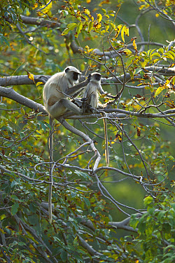 Hanuman Langur (Semnopithecus entellus) adult grooming young in tree, Ranakpur Forest, Rajasthan, India  -  Cyril Ruoso