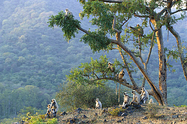 Hanuman Langur (Semnopithecus entellus) group in Ranakpur Forest, Rajasthan, India  -  Cyril Ruoso