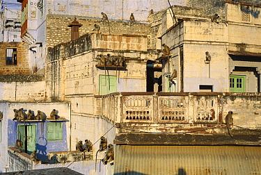 Hanuman Langur (Semnopithecus entellus) group in the city of Jodhpur basking in the morning sun, Rajasthan, India  -  Cyril Ruoso