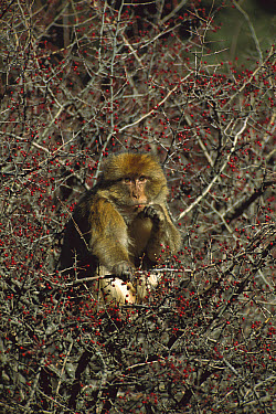 Barbary Macaque (Macaca sylvanus) adult eating berries in a tree in winter, Middle Atlas Mountains, Morocco  -  Cyril Ruoso