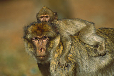 Barbary Macaque (Macaca sylvanus) infant riding on the back of an adult male, winter, Middle Atlas Mountains, Morocco  -  Cyril Ruoso
