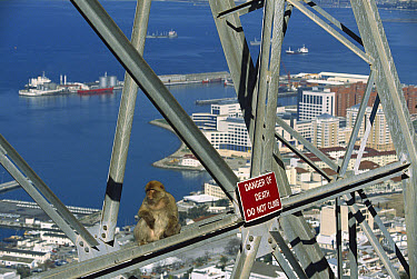 Barbary Macaque (Macaca sylvanus) in an urban area sitting on a pylon near warning sign, Gibraltar  -  Cyril Ruoso