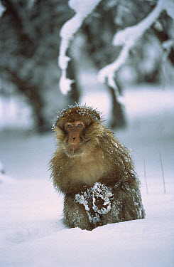 Barbary Macaque (Macaca sylvanus) male in snow, Middle Atlas Mountains, Morocco  -  Cyril Ruoso