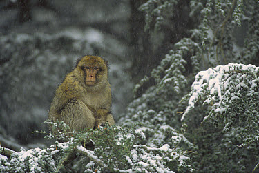 Barbary Macaque (Macaca sylvanus) male in tree under snowfall, winter, Middle Atlas Mountains, Morocco  -  Cyril Ruoso