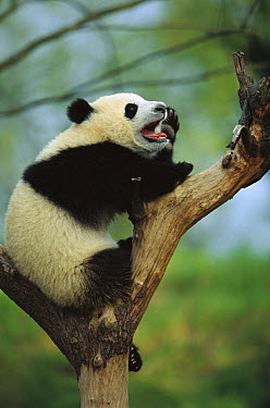 Giant Panda (Ailuropoda melanoleuca) year old cub calling in tree, Chengdu Panda Breeding and Research Center, Sichuan, China  -  Cyril Ruoso