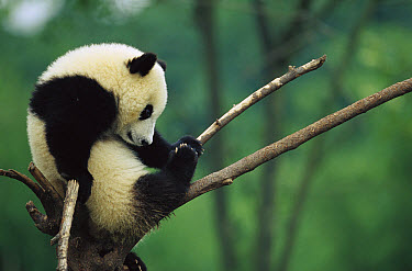 Giant Panda (Ailuropoda melanoleuca) year old cub resting on branch, Chengdu Panda Breeding and Research Center, Sichuan, China  -  Cyril Ruoso