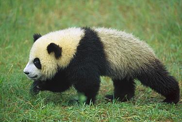 Giant Panda (Ailuropoda melanoleuca) year old cub walking on grass, Chengdu Panda Breeding and Research Center, Sichuan, China  -  Cyril Ruoso