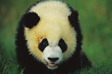 Giant Panda (Ailuropoda melanoleuca) portrait of a year old cub, Chengdu Panda Breeding and Research Center, Sichuan, China  -  Cyril Ruoso