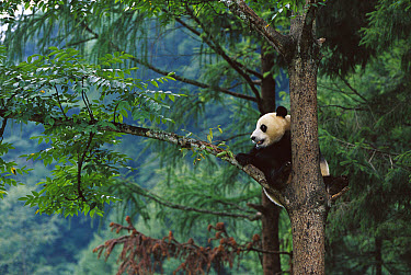 Giant Panda (Ailuropoda melanoleuca) in a tree, China Conservation and Research Center for the Giant Panda, Wolong Nature Reserve, China  -  Cyril Ruoso