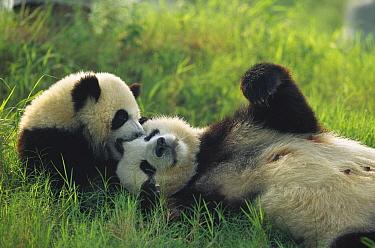 Giant Panda (Ailuropoda melanoleuca) female and year old cub playing, Chengdu Panda Breeding Research Center, China  -  Cyril Ruoso