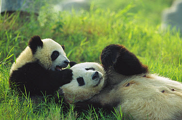 Giant Panda (Ailuropoda melanoleuca) female and year old cub playing, Chengdu Panda Breeding Research Center, China  -  Cyril Ruoso