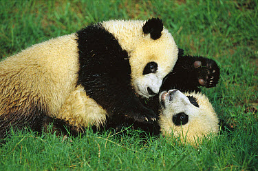 Giant Panda (Ailuropoda melanoleuca) two cubs playing, Chengdu Panda Breeding Research Center, China  -  Cyril Ruoso
