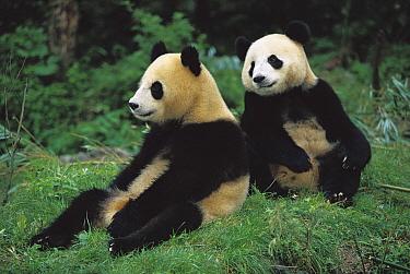 Giant Panda (Ailuropoda melanoleuca) two cubs sitting, Chengdu Panda Breeding Research Center, China  -  Cyril Ruoso