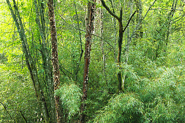 Bamboo (Dendrocalamus sp) forest, Wolong Nature Reserve, Sichuan, China  -  Cyril Ruoso